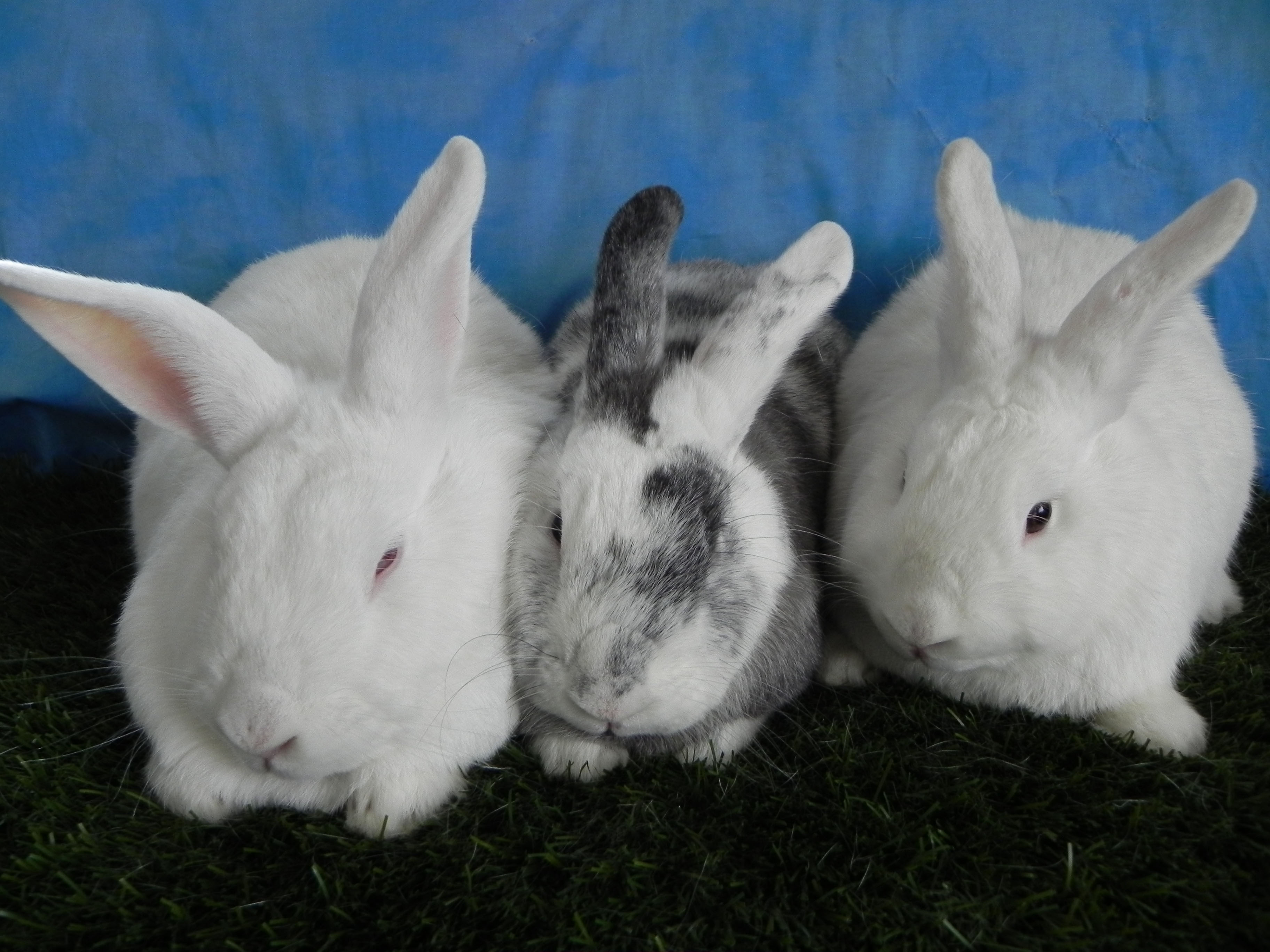 Hopkins, Chantilly and Chiffon